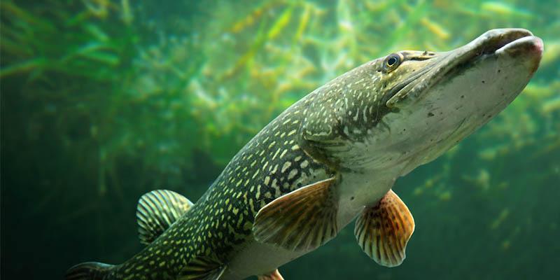 Fisch des jahres 2016 for Fisch bilder